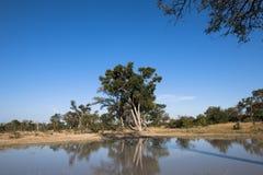Schöner See mit reflektierenden Bäumen in Botswana Lizenzfreies Stockfoto