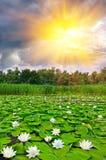 Schöner See mit weißen Lilien Stockfotos