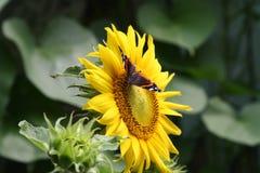 Schöner seltener Admiralsschmetterling, der Blütenstaub auf einer Blume einer Sonnenblume sammelt Lizenzfreies Stockbild
