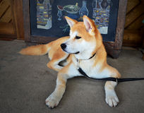 Schöner shiba inu Hund stockfotografie
