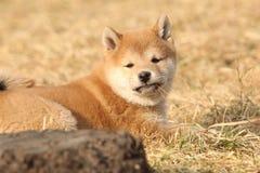 Schöner Shiba-inu Welpe, der Sie betrachtet Lizenzfreies Stockbild