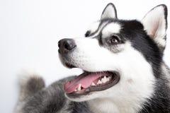 Schöner sibirischer Schlittenhund stockfotos