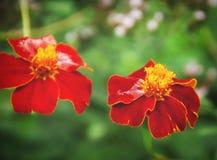 Schöner Sommergrünhintergrund mit roten Blumen Lizenzfreie Stockfotos