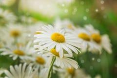 Schöner Sommerhintergrund Kamillenblumen Stockbild
