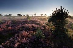Schöner Sommermorgen auf Heide lizenzfreie stockfotos