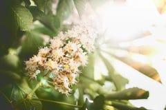 Schöner Sommernaturhintergrund mit Grünblättern und Kastanien blühen stockfoto