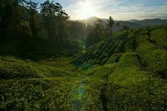 Schöner Sonnenaufgang an der Teeplantage stockfotos