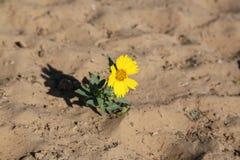 Schöner Sonnenblume Helianthus Annuus Lizenzfreies Stockfoto