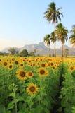 Schöner Sonnenblumebauernhof Lizenzfreie Stockbilder