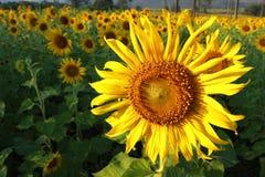Schöner Sonnenblumebauernhof Lizenzfreies Stockbild