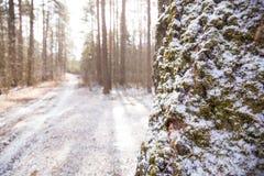 Schöner Sonnenschein und Schnee im Moskau-Waldmoos auf dem Baum Ende des Winters und Anfang des Frühlinges Stockfotos