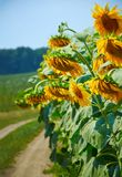 Schöner Sonnenuntergang über einem Feld mit Sonnenblumen stockfoto