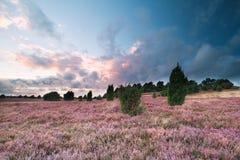 Schöner Sonnenuntergang über Hügeln mit rosa Heide blüht lizenzfreies stockbild