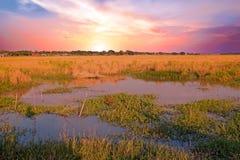 Schöner Sonnenuntergang auf den Reisfeldern nahe Rangun Myanmar stockfotos
