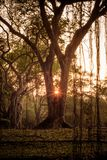 Schöner Sonnenuntergang hinter Banyanbäumen in Thailand lizenzfreies stockbild