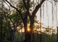 Schöner Sonnenuntergang hinter Banyanbäumen in Thailand stockfotografie