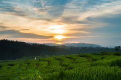 Schöner Sonnenuntergang im Reisfeld Stockfoto