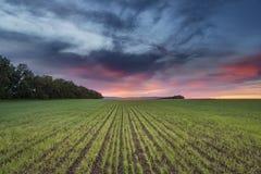 Schöner Sonnenuntergang ist über Feldern mit Sprösslingen des Weizens Stockbild