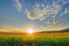 Schöner Sonnenuntergang mit Maisfeld lizenzfreie stockbilder
