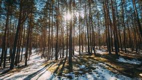 Schöner Sonnenuntergang Sun-Sonnenschein in Sunny Early Spring Coniferous Forest-Sonnenlicht Sun-Strahlen glänzt durch Kiefernhol stock video