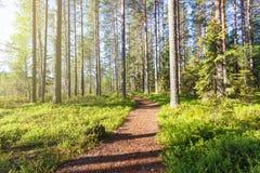 Schöner sonniger Morgen im Waldweg durch Kiefernwald stockfoto
