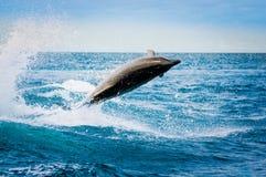 Schöner spielerischer Delphin, der in den Ozean springt lizenzfreies stockbild