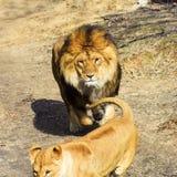 Schöner spielerischer mächtiger Löwe stockfotografie