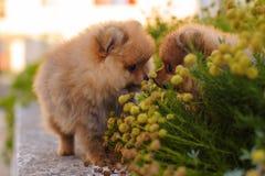 Schöner Spitz zwei in den Blumen Stockfotos