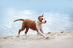 Schöner Staffordshire-Terrierwelpe, der über den Sand läuft Lizenzfreie Stockbilder