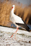 Schöner Storch am Park Stockbild
