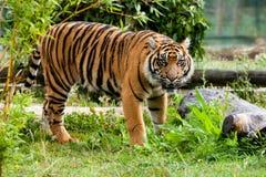 Schöner Sumatran Tiger, der im Grün knurrt stockfotos
