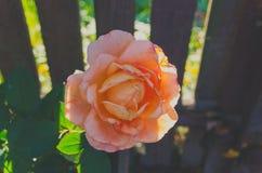 Schöner Tee Rosenbusch, der im Garten wächst Stockfotos
