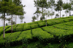 Schöner Teebauernhof und -bäume Stockfotos