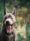 Schöner thailändischer ridgeback Hund im gähnenden Morgenwald Stockbild