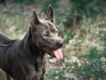 Schöner thailändischer ridgeback Hund im Morgenwald Stockfotos