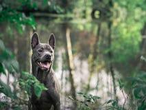 Schöner thailändischer ridgeback Hund im Morgenwald Lizenzfreies Stockbild