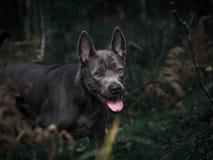 Schöner thailändischer ridgeback Hund im Wald Stockfoto