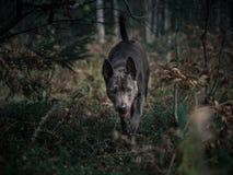 Schöner thailändischer ridgeback Hund im Wald Lizenzfreie Stockfotos