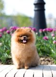 Schöner und flaumiger pomeranian Hund Hund auf der Bank in einem Park Pomeranian auf einem Weg Lizenzfreie Stockbilder