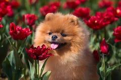 Schöner und flaumiger pomeranian Hund Hund auf der Bank in einem Park Pomeranian auf einem Weg Stockfotografie