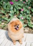 Schöner und flaumiger pomeranian Hund Hund auf der Bank in einem Park Pomeranian auf einem Weg Lizenzfreie Stockfotografie