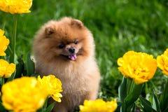 Schöner und flaumiger pomeranian Hund Hund auf der Bank in einem Park Pomeranian auf einem Weg Stockbilder