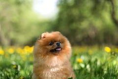 Schöner und flaumiger pomeranian Hund Hund in einem Park Pomeranian auf einem Weg Lizenzfreie Stockfotografie