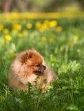 Schöner und flaumiger pomeranian Hund Hund in einem Park Pomeranian auf einem Weg Lizenzfreie Stockbilder