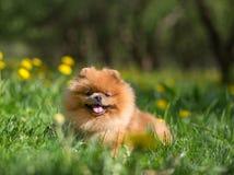 Schöner und flaumiger pomeranian Hund Hund in einem Park Pomeranian auf einem Weg Stockfotos
