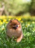 Schöner und flaumiger pomeranian Hund Hund in einem Park Pomeranian auf einem Weg Lizenzfreies Stockfoto