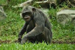 Schöner und netter Schimpanse im Naturlebensraum Lizenzfreie Stockfotografie