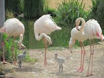Schöner und würdevoller Flamingovogel, der nahe dem See im Zoo von Erfurt geht stockbilder