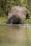 Schöner und wilder Tieflandgorilla im Naturlebensraum Stockfotografie