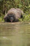 Schöner und wilder Tieflandgorilla im Naturlebensraum Stockbild